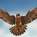 Avatar of falcon